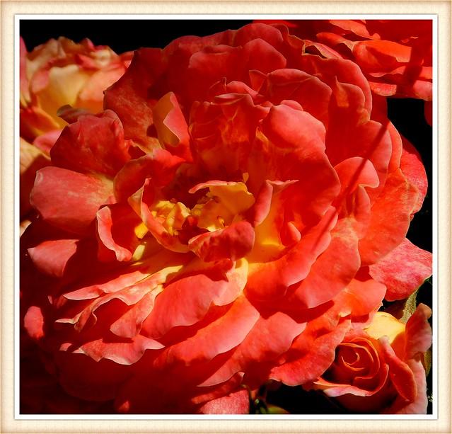 Róża w porannym słońcu * EXPLORE