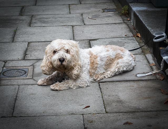 Dog Resting, Chalcot Square