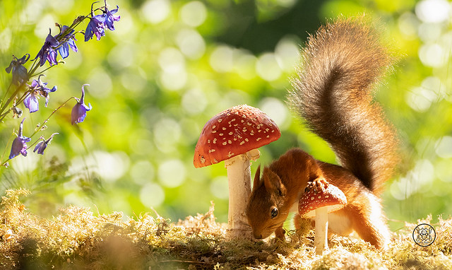 red squirrel leaning over a mushroom