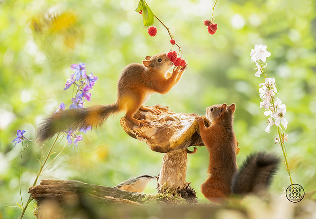 red squirrel and nuthatch standing on a mushroom eating raspberries