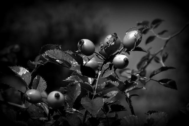 fine stagione per le rose