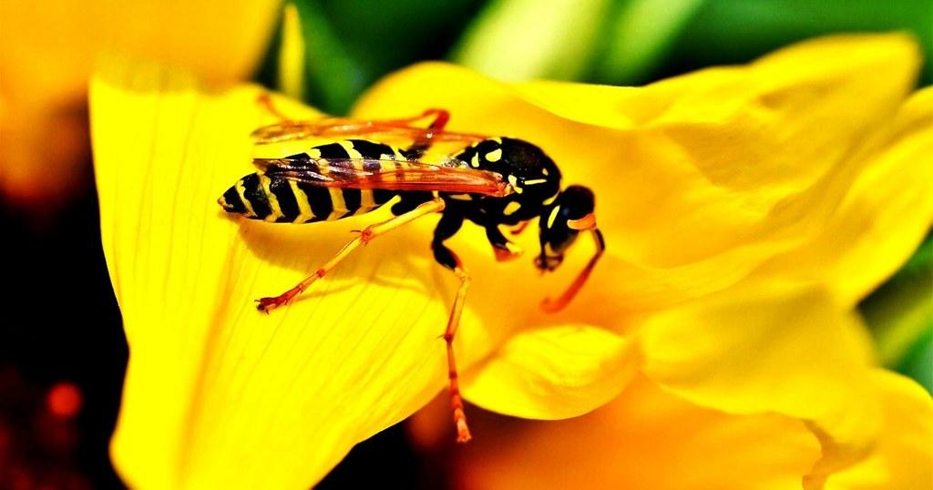 wasp singapore (1)