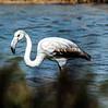 Flamenco  - Flamingo by ibzsierra