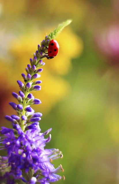 🐞 Ladybug