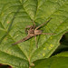 Nursery Web Spider-00357