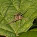 Nursery Web Spider-00357