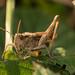 Field Grasshopper-00341