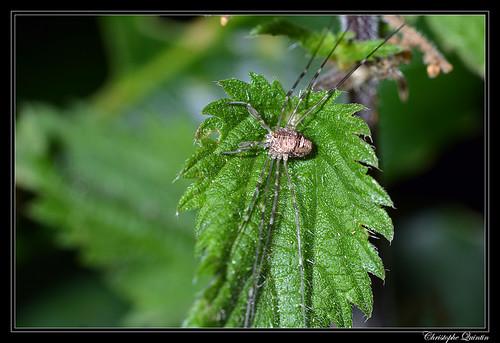 Dicranopalpus ramosus femelle