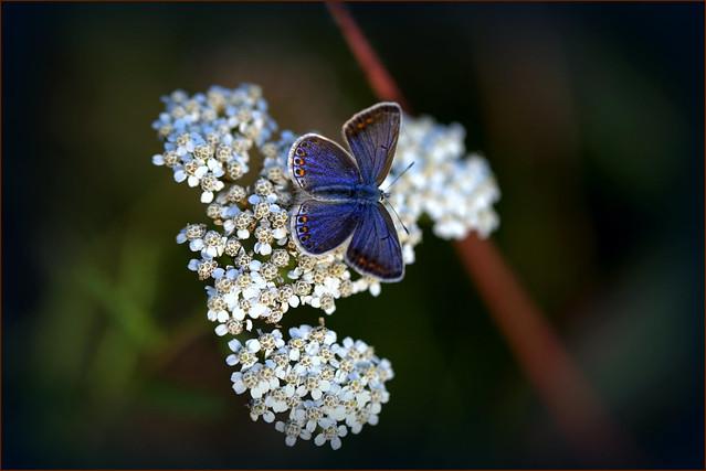 Icarusblauwtje (femail)