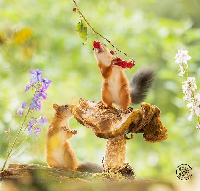 red squirrels standing with a mushroom eating raspberries