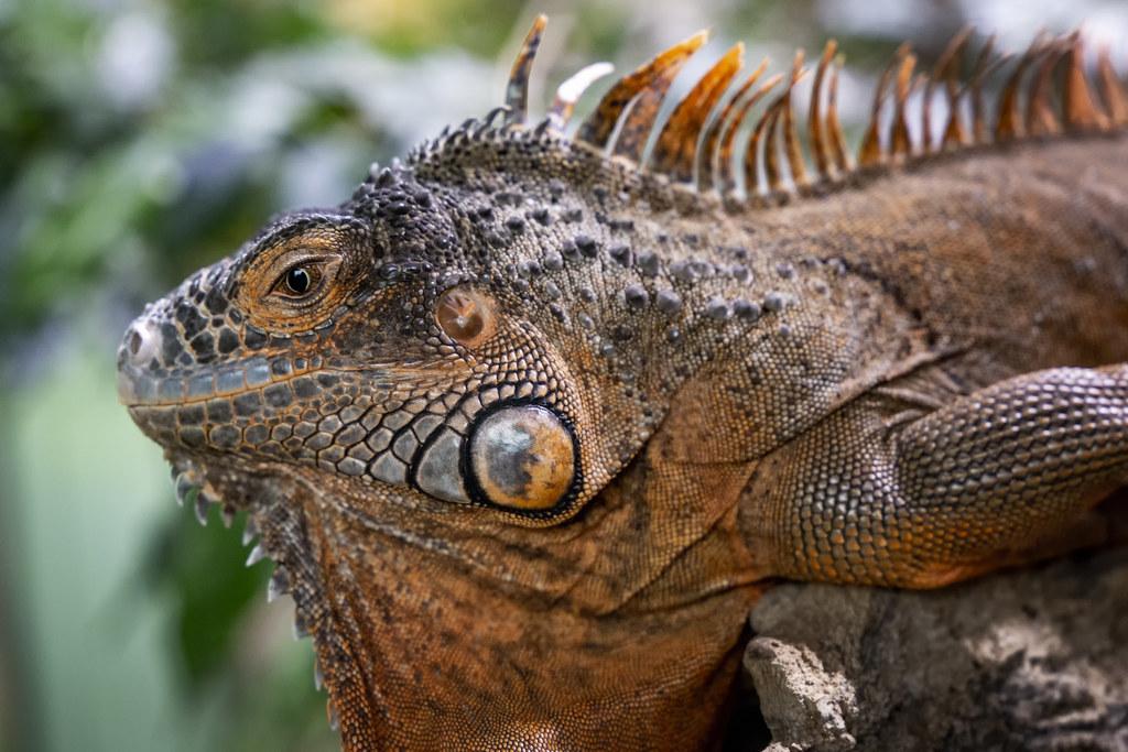 Grüner Leguan | Iguana iguana | Green iguana