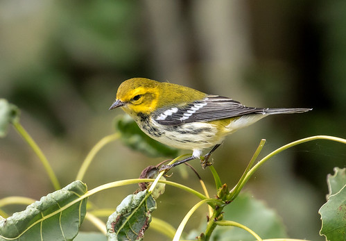 015A7813Black-throated Green Warbler | by suebmtl