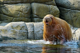 Pacific walrus - Pazifisches Walross