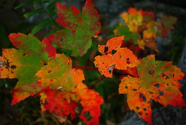 Maple shades