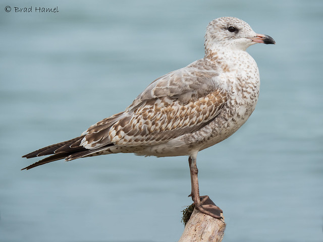 A young ring billed gull.