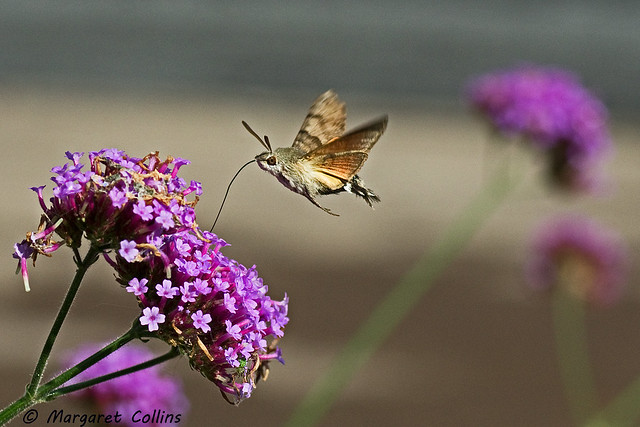 Hummingbird Hawk-moth - Macroglossum stellatarum 2