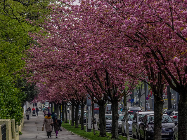 A walk along the street of Cherry Blossoms.