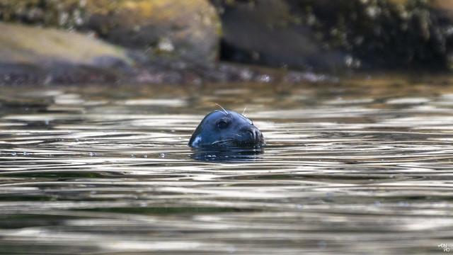 Grey Seal - Halichoerus Grypus