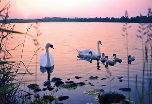 scotland sunset loch om10 lochmaben 1989 swan cygnet water