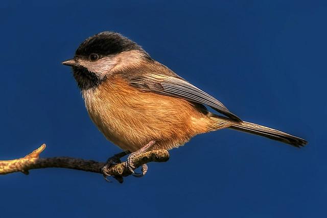 Chickadee (High Def) ©