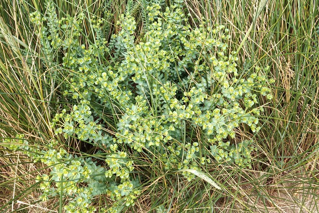 Another Plant in the Marram Grass