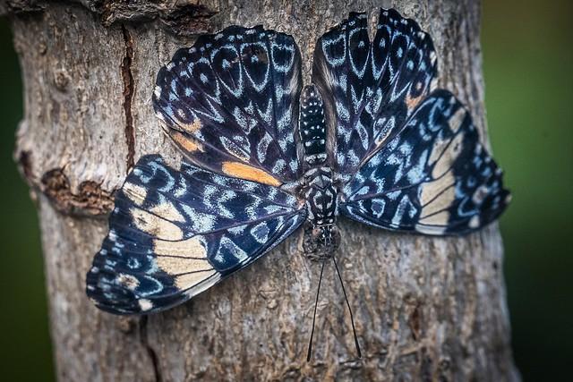 Blauwe Hamadryasvlinder