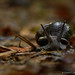 cclborneo posted a photo:Land snail (Helicophanta sp.). Ranomafana National Park, Madagascar.