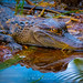 Ira Mark Rappaport posted a photo:	Baby Alligator with its reflection in the marsh water