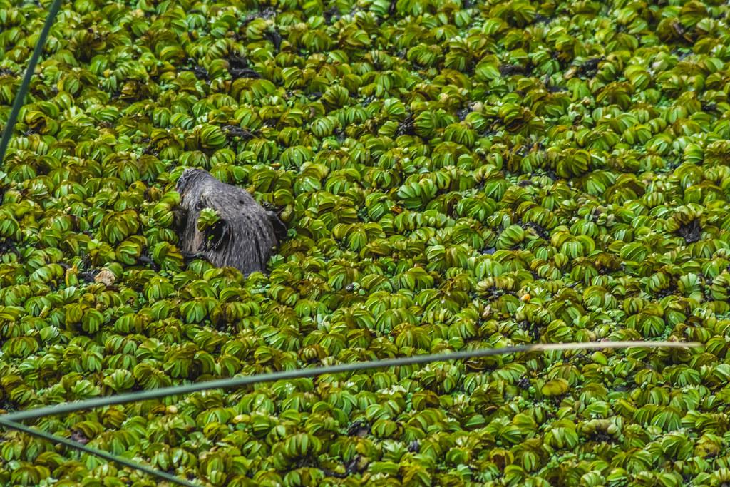 Jugando a las escondidas (Lobito de río) // Playing hide and seek (Neotropical otter)