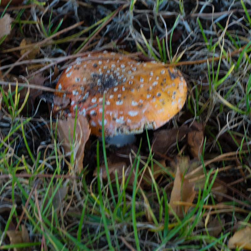 Fly agaric, Bantock park, washed out colour