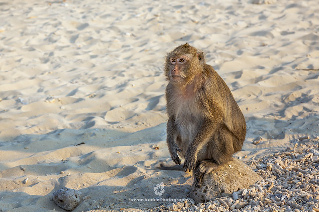 Macaque Sitting on the Beach at Monkey Island (Cat Dua Island)