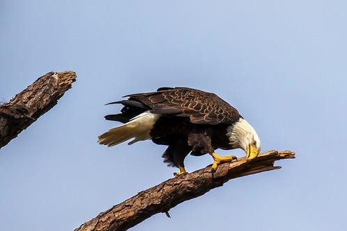 flight outdoor dennis adair nature wildlife 7dm2 7d ii ef100400mm canon florida bird raptor ngc eagle
