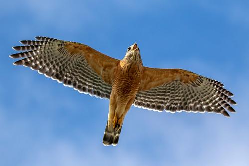 flight outdoor dennis adair sky nature wildlife 7dm2 7d ii ef100400mm canon florida bird raptor