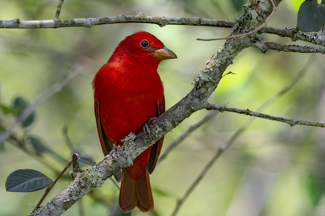 Summer tanager in Colombia