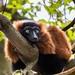 Červený lemur vari ( Varecia rubra )