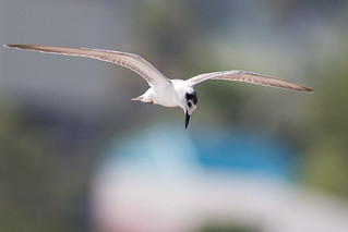 White-winged Tern | by steve happ