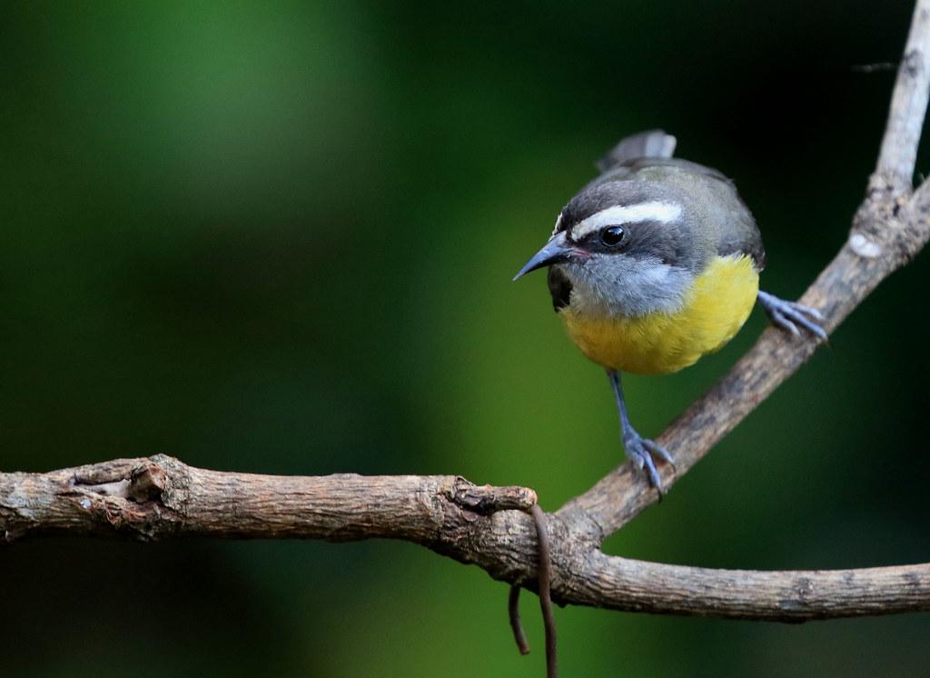 Sucrier à ventre jaune - Jardín de picaflores/Iguazú/Misiones/Argentina_20171108_011-1