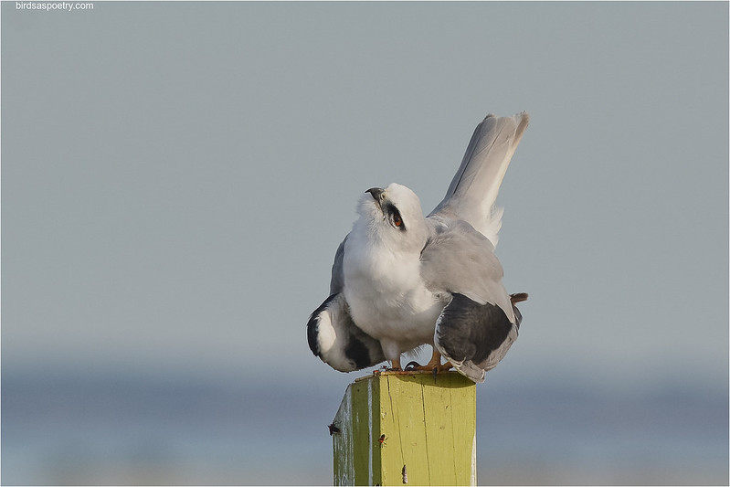Black-shouldered Kite:  Not on My Terrritory You Don't
