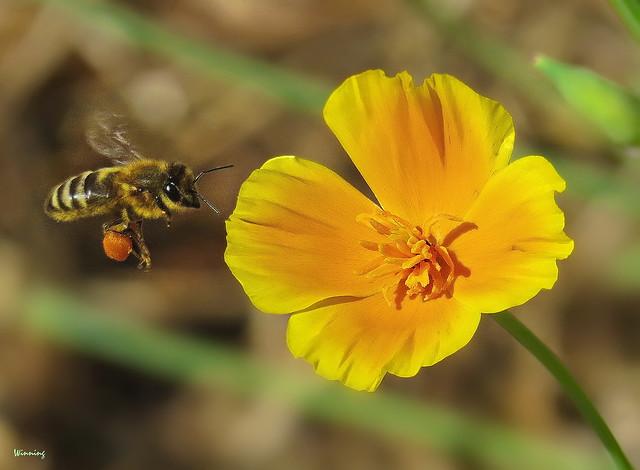 Honey Bee and California Poppy 6063