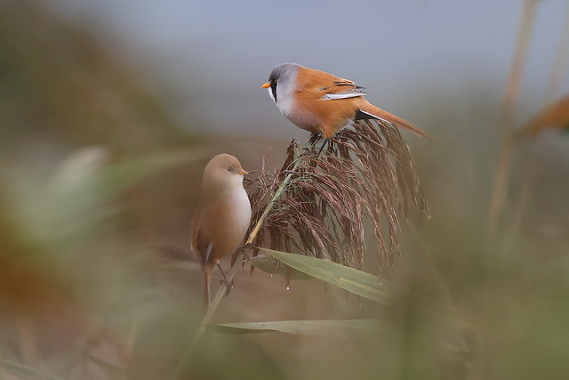 Bearded Reedlings