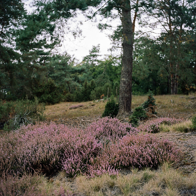 Heideblüte im NSG Loosenberge