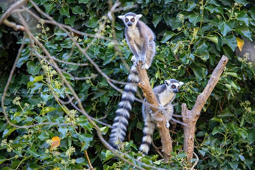 Lemur kata (Lemur catta) | by Michal Hruby Photography