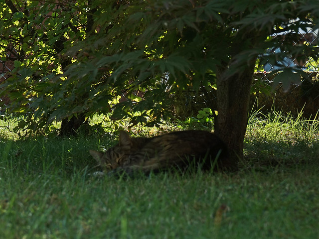 Eine getigerte Katze liegt schlafend im Schatten unter enem Strauch