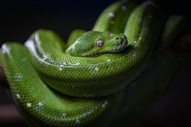 Grüner Baumpython | Morelia viridis | Green tree python