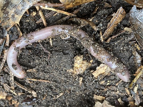 Invasive Earthworm, Minnesota | by brett.ortler