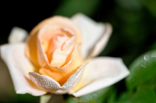 Roses, 27