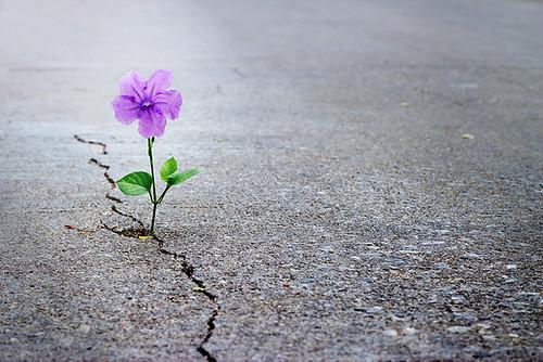Purple flower growing on crack street, soft focus, blank text