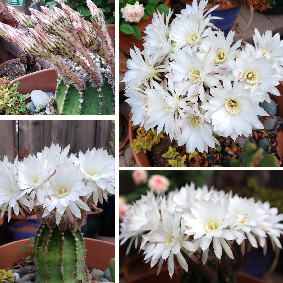 amazing-cactus