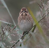 A Reed Bunting having a staring contest with me.