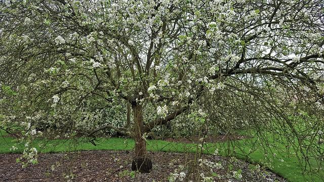 Pyrus Calleryana...Ornamental Callery Pear Tree